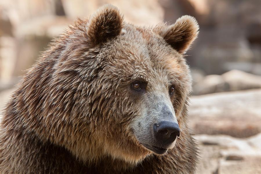 Eurasian brown bear (Ursus arctos arctos), also known as the Eur